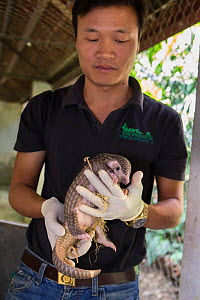 Rescue worker holding two-month-old baby Sunda pangolin (Manis javanica). Mother was rescued from poachers when she was pregnant and later gave birth while in rehabilitation. Carnivore and Pangolin Co...  -  Suzi Eszterhas / Wild Wonders of China