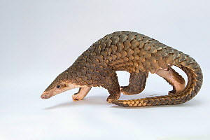 Sunda pangolin (Manis javanica), rescued from poachers and in rehabilitation. Carnivore and Pangolin Conservation Program, Cuc Phuong National Park, Vietnam. Captive, Digitally cleaned.  -  Suzi Eszterhas / Wild Wonders of China
