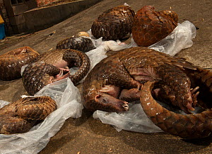 Six Sunda pangolins (Manis javanica) seized from a commercial tenant's rental house during an operation by the forest police. Conghua market, Guangzhou, Guangdong, China.  -  Xiao Shibai / Wild Wonders of China