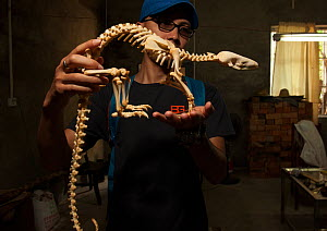 Pangolin skeleton, one of the products confiscated by forest police, at the Nanning Wildlife Rescue Center, Nanning, China.  -  Xiao Shibai / Wild Wonders of China