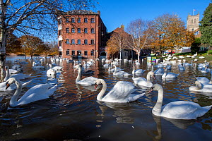 Flock of Mute Swans (Cygnus olor) during 2019 floods, River Severn, Worcester, England.  -  Will Watson