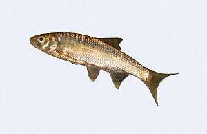 Common Dace (Leuciscus leuciscus) on white background, tributary of the River Lugg, Herefordshire, England. Controlled conditions.  -  Will Watson