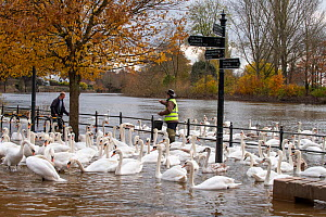 A flock of Mute Swans (Cygnus olor) being fed grain during November 2019 floods, River Severn in Worcester, England.  -  Will Watson