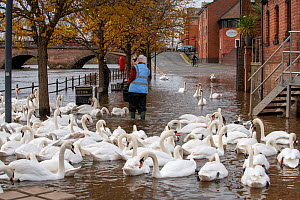 Person feeding Mute Swans (Cygnus olor) grain during 2019 floods, River Severn, in Worcester, England.  -  Will Watson