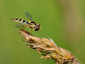 Long hoverfly (Sphaerophoria scripta) female grooming its head while standing on grass flowers in a meadow, Wiltshire, UK, July.  -  Nick Upton