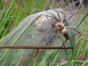 Female Nursery web spider (Pisaura mirabilis) guarding her spiderlings, recently hatched from an egg sac within a silken tent on vegetation in a marsh, Dorset, UK, July.  -  Nick Upton