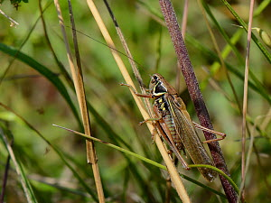 Roesel's bush cricket (Metrioptera roeseli) male, long-winged form, resting on grass stems in a meadow, Wiltshire, UK, July. Scarce long-winged flying females (duluta form) appear in higher number...  -  Nick Upton