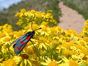 Six spot burnet moths (Zygaena filipendulae) nectaring on Common ragwort flowers (Senecio jacobaea) among coastal sand dunes, The Gower, Wales, UK, August.  -  Nick Upton