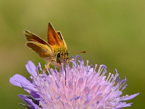 Small skipper butterfly (Thymelicus sylvestris) nectaring on a Field scabious flower (Knautia arvensis) with its long proboscis, chalk grassland meadow, Wiltshire, UK, July.  -  Nick Upton