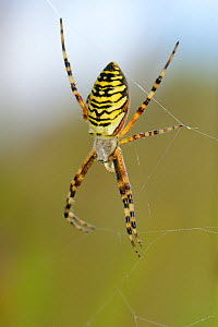 Wasp spider (Argiope bruennichi) female on her web in a chalkgrassland meadow, Wiltshire, UK, July. This species was first recorded in the UK in Sussex in 1922 and is steadily spreading further north...  -  Nick Upton