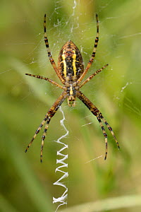 Wasp spider (Argiope bruennichi) female on her web next to zigzag stabilimenta threads, in a chalk grassland meadow, Wiltshire, UK, July. This species was first recorded in the UK in Sussex in 1922 an...  -  Nick Upton