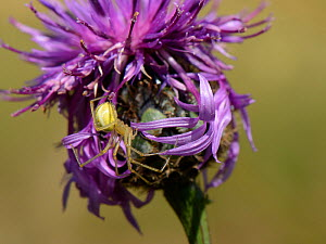 Common candystripe / Comb-footed spider (Enoplognatha ovata) female hunting on a Greater knapweed flowerhead (Centaurea scabiosa), chalk grassland meadow, Wilthire, UK, July.  -  Nick Upton