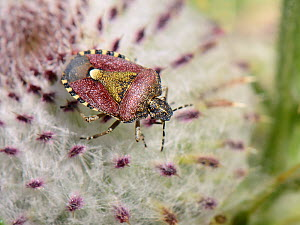 Hairy Shieldbug / Sloe bug (Dolycoris baccarum) on a Woolly Thistle (Cirsium eriophorum) in a Wiltshire meadow, UK, July.  -  Nick Upton