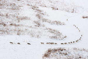 Canadian timber wolf / Northwestern wolf (Canis lupus occidentalis) pack moving through snow, Wood Buffalo National Park, Alberta, Canada. Taken on location for BBC Frozen Planet, March 2009.  -  Chadden  Hunter