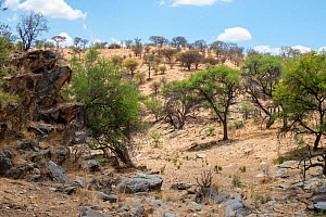 Khomas Hochland featuring highland shrubland with Acacia in flower, Daan Viljoen Game Reserve, Namibia, January.  -  Will Watson