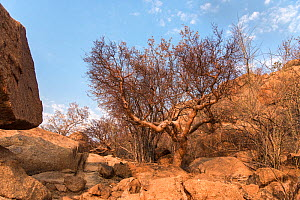 Blue-leaved corkwood tree (Commiphora glaucescens) Erongo Mountains, Namibia  -  Rhonda Klevansky