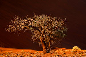 Acacia tree in front of sand dunes, Tsauchab valley, Namib desert, Namib-Naukluft Park, Namibia, August - Oriol  Alamany