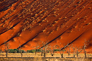 Acacia trees below a sand dune in Tscauchab valley, Namib-Naukluft National Park, Namibia, October  -  Oriol  Alamany