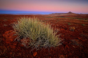 Endemic Damara milk-bush (Euphorbia damarana), at dusk in the rocky desert in Palmwag Conservancy, Damaraland, Namibia, August  -  Oriol  Alamany