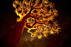 Kokerboom or Quiver Tree (Aloe dichotomum), a species of aloe indigenous to Southern Africa, at night. Quiver tree forest, Kalahari, Namibia  -  Enrique Lopez-Tapia