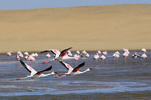 Greater flamingos (Phoenicopterus ruber) in the Walvis Bay Lagoon, one of the most important wetlands for birds along the southern African coast, Namib desert, Namibia. Since 1995 it has been a procla...  -  Enrique Lopez-Tapia