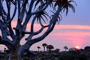 Kokerboom or Quiver Tree (Aloe dichotomum), a species of aloe indigenous to Southern Africa. Quiver tree forest, Kalahari, Namibia  -  Enrique Lopez-Tapia