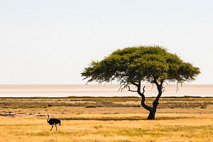 Umbrella thorn tree (Vachellia tortilis) in the Etosha pan with common ostrich (Struthio camelus) male. Etosha National Park, Namibia  -  Emanuele Biggi