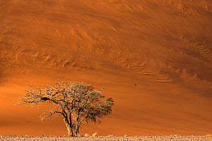 Camel thorn tree (Vachellia erioloba) growing in the rocky plains at the base of giant red dunes while winds blow the dune's sand creating patterns, Sossusvlei, Namibia - Emanuele Biggi