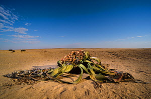 Welwitschia (Welwitschia mirabilis) female with cones and a cascade of seeds that will disperse into the wind and will hopefully give birth to new life into the Namib desert, Namibia - Emanuele Biggi