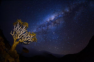 A quiver tree (Aloidendron dichotomum) at night with stars in the sky, Namib desert, Namibia  -  Emanuele Biggi