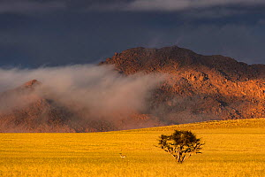 An unusually foggy and cloudy winter morning in the Naukluft National Park, with a small Vachellia (Acacia) tree and a Springbok (Antidorcas marsupialis) in the dry grass plains, Namibia  -  Emanuele Biggi