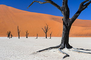 Dead Camel thorn trees (Vachellia erioloba) in the long-time dry riverbed of Deadvlei, an iconic view of Namib desert, Namibia  -  Emanuele Biggi