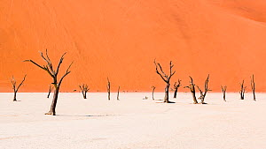 Dead Camel thorn trees (Vachellia erioloba) in the long-tern dry riverbed of Deadvlei, an iconic view of Namib desert, Namibia - Emanuele Biggi