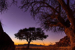 Camel thorn tree (Vachellia erioloba) silhouetted at sunset in the cold winter desert of Southern Namibia  -  Emanuele Biggi