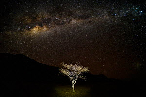 A young thorny Acacia tree (Vachellia sp.) growing in rocky desert around Sossusvlei, at night with Milky Way, Namibia - Emanuele Biggi