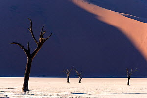 Deadvlei with dead Camel thorn trees (Vachellia erioloba), Namib-Naukluft National Park, Namib Desert, Namibia  -  David Allemand
