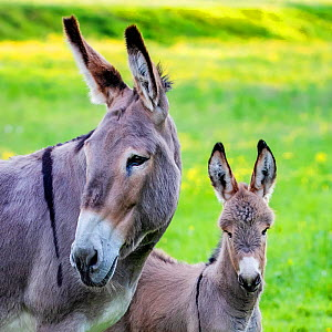 Provence donkey foal age one week and his mother in a meadow in spring - portrait, France. - Klein & Hubert