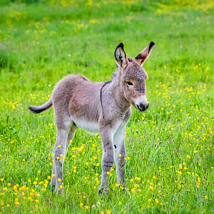 Provence donkey foal age one week standing in a flowering meadow in spring, France. - Klein & Hubert