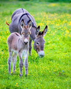 Provence donkey foal age one week near his mother in a flowering meadow in spring, France. - Klein & Hubert