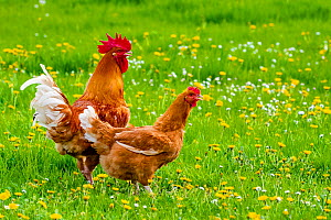 Rooster and hen in meadow in spring, France.  -  Klein & Hubert