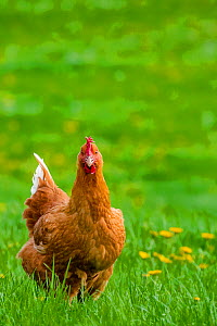 Hen walking in meadow in spring, France.  -  Klein & Hubert
