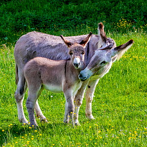 Provence donkey foal age one week playing with his mother in a flowering meadow in spring, France. - Klein & Hubert