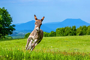 Provence donkey foal age one week running in a meadow in spring in mountain, France. - Klein & Hubert