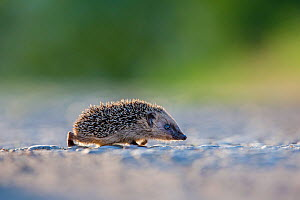 Young Common hedgehog (Erinaceus europaeus) crossing a path in the evening, France. Controlled conditions.  -  Klein & Hubert