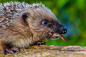 Young Common hedgehog (Erinaceus europaeus) swallowing an earthworm in a garden in summer, France. Controlled conditions.  -  Klein & Hubert