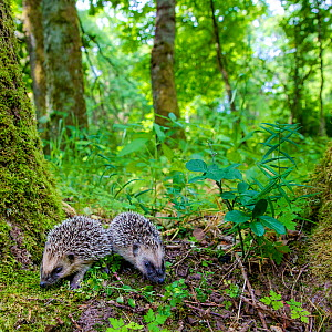 Two young Common hedgehogs (Erinaceus europaeus) searching for food in deciduous forest in summer, France. Controlled conditions. - Klein & Hubert