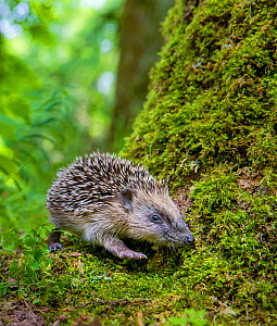 Common hedgehog (Erinaceus europaeus) young searching for food in deciduous forest in summer, France. Controlled conditions. - Klein & Hubert