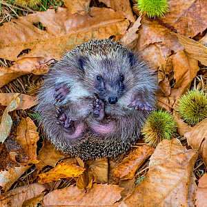 Common hedgehog (Erinaceus europaeus) partly rolled up into a ball in dead leaves in autumn, France. Controlled conditions. - Klein & Hubert