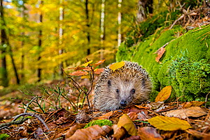 Common hedgehog (Erinaceus europaeus) in forest in fall, France. Controlled conditions. - Klein & Hubert