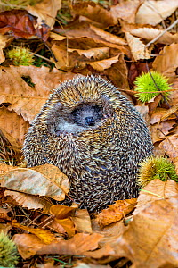 Adult Common hedgehog (Erinaceus europaeus) rolled up into an ball in dead leaves in autumn, France. Controlled conditions. - Klein & Hubert